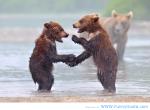 bear+handshake+in+the+rain.+bear+handshake+in+the+rain_32a091_4226811